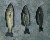 Left to right: largemouth, spotted and smallmouth bass