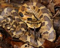 Photo of an eastern hog-nosed snake.