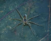 Image of a fishing spider
