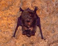 Photo of a gray myotis hanging from a cave ceiling.