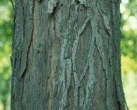 Photo of shellbark hickory trunk showing bark.