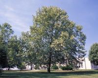Image of a sycamore tree