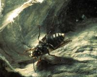Photo of bald-faced hornet in nest, showing underside of wasp
