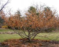 Image of Ozark witch-hazel.