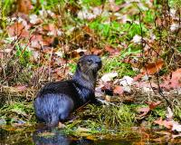 Photo of a river otter on a stream bank.