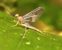 Photo of adult mayfly on a leaf