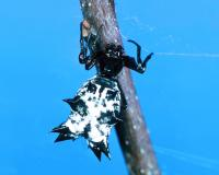 Photo of a spined micrathena on a twig