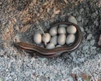 photo of a Five-Lined Skink Guarding Eggs