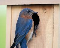 A bluebird perches at the opening of a bluebird nest box.
