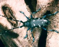Photo of Asian longhorned beetle, an invasive forest pest