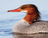 Photo of a female common merganser, closeup on head and front.