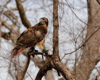 photo of a red tailed hawk