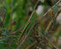 female admirable grasshoppers are green.