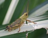 Image of a differential grasshopper.