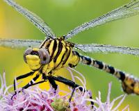 A spinyleg dragonfly, possibly a southeastern spinyleg clubtail, closeup.