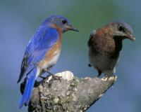 Photo of a male and female eastern bluebird