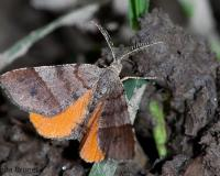 Photo of an Orange Wing moth