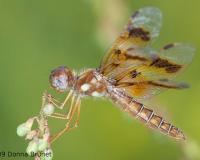Photo of an Eastern Amberwing dragonfly, female