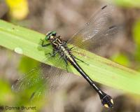 Photo of a Cobra Clubtail dragonfly
