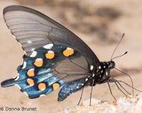 Photo of a Pipevine Swallowtail, Wings Folded