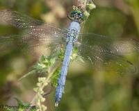 Photo of an Eastern Pondhawk dragonfly, male