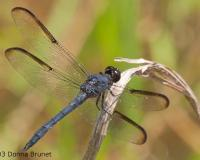 Photo of a slaty skimmer dragonfly, male.