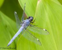 Photo of a Spangled Skimmer dragonfly, male