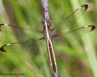 Photo of a Spangled Skimmer dragonfly, female