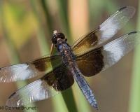 Photo of a Widow Skimmer dragonfly, male