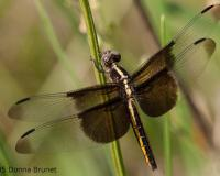 Photo of a Widow Skimmer dragonfly, female