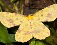 Photo of a Xanthotype geometer moth