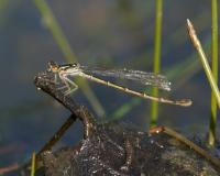 Photo of an adult damselfly on a twig next to water.