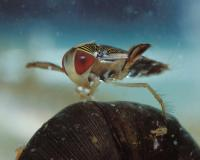 Photo of a water boatman