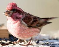 Photograph of a male Purple Finch at a bird feeder
