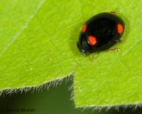 Four-spotted lady beetle on a leaf