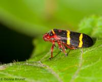 Photo of an adult two-lined spittlebug on a leaf