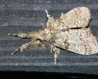 Tussock moth resting on a wooden board