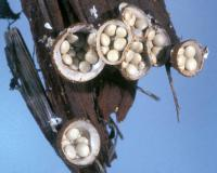 Photo of several splash cup fungi, like tiny birdnests, on a piece of wood mulch