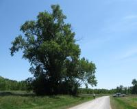 Champion Eastern Cottonwood before storm