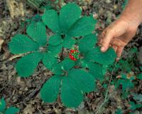 Photo of ginseng plant with hand for scale