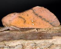 image of a Honey Locust Moth