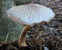 Photo of reddening lepiota, tan, gilled mushroom growing in mulch