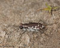 image of a bronzed or common shore tiger beetle