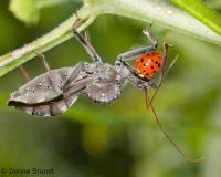 image of a Wheel Bug Eating Asian Lady Beetle