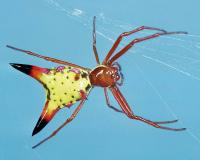 Photo of arrow-shaped micrathena spider