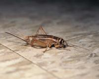 Photo of a female house cricket, side view