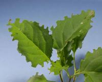 Photo of lilac leaves damaged by a leafcutter bee