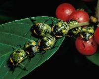 Photo of green stink bug nymphs