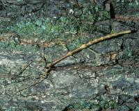Photo of a walkingstick on a tree trunk
