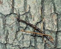 Photo of mating walkingsticks on tree trunk
